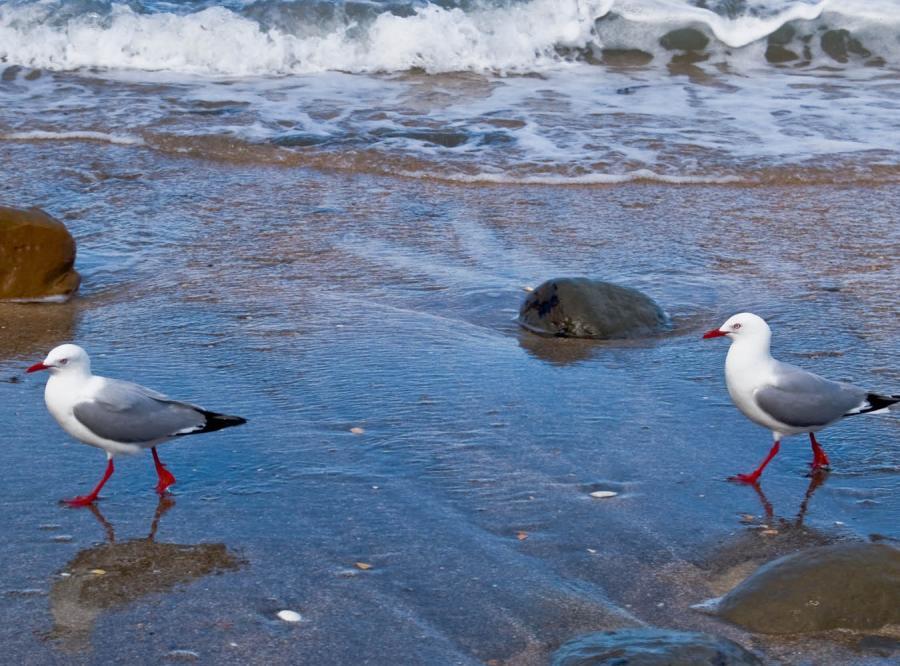 Czerwony przypływ zabójcą ptaków