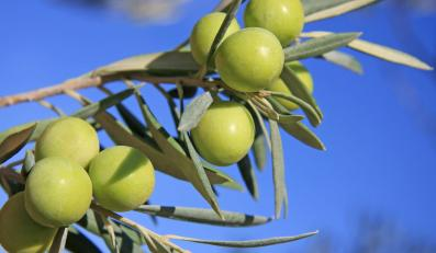 """""""Tysiącetnie"""" drzewa oliwne rosną w Hiszpanii"""