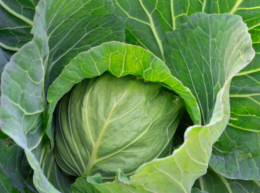 9. Kapusta i inne warzywa kapustne