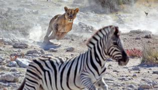 Lwica polująca na zebrę