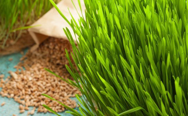 Trawa pszeniczna dobra dla dziąseł