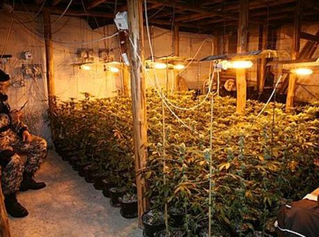 Policja zlikwidowała dwie plantacje marihuany
