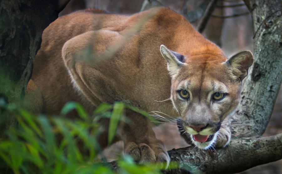 Puma płowa, czyli lew górski